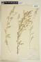 Rorippa palustris (L.) Besser, U.S.A., T. E. Savage, F