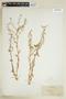 Rorippa palustris (L.) Besser, U.S.A., J. Clemens, F