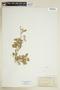 Rorippa palustris (L.) Besser, U.S.A., M. E. Jones 1352, F