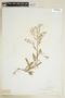 Rorippa palustris (L.) Besser, U.S.A., B. F. Leeds, F