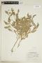 Rorippa palustris (L.) Besser, U.S.A., W. B. Kiener 17463, F