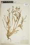 Rorippa palustris (L.) Besser, U.S.A., J. M. Coulter 2965, F