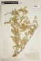 Rorippa palustris subsp. hispida (Desv.) Jonsell, U.S.A., E. B. Payson 2807, F