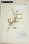 Rorippa palustris subsp. hispida (Desv.) Jonsell, Canada, J. W. Thieret 6066, F
