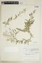 Rorippa palustris subsp. hispida (Desv.) Jonsell, Canada, J. W. Thieret 5541, F