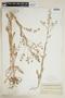 Rorippa palustris subsp. hispida (Desv.) Jonsell, Canada, N. B. Sanson, F