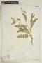 Rorippa palustris subsp. hispida (Desv.) Jonsell, U.S.A., D. Clarke, F