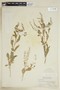 Rorippa sessiliflora (Nutt.) Hitchc., U.S.A., H. C. Benke 5143, F