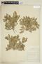 Rorippa sessiliflora (Nutt.) Hitchc., U.S.A., 12, F