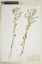 Rorippa sessiliflora (Nutt.) Hitchc., U.S.A., H. N. Patterson, F