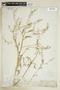 Rorippa sessiliflora (Nutt.) Hitchc., U.S.A., F