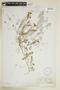 Rorippa sinuata (Nutt.) Hitchc., U.S.A., C. E. Bessey, F