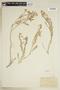 Rorippa sinuata (Nutt.) Hitchc., U.S.A., B. Shimek, F