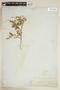 Rorippa sinuata (Nutt.) Hitchc., U.S.A., J. Wolf 618, F