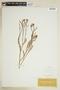 Rorippa sinuata (Nutt.) Hitchc., U.S.A., E. Hall 16, F