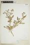 Rorippa sinuata (Nutt.) Hitchc., U.S.A., C. F. Baker, F
