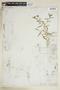 Rorippa sinuata (Nutt.) Hitchc., U.S.A., G. R. Vasey 32, F
