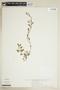 Rorippa sinuata (Nutt.) Hitchc., U.S.A., B. Wallenta 70, F