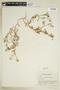 Rorippa sinuata (Nutt.) Hitchc., U.S.A., N. C. Henderson 73892, F