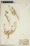 Rorippa sinuata (Nutt.) Hitchc., U.S.A., R. C. Rollins 5101, F