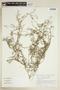 Rorippa sinuata (Nutt.) Hitchc., U.S.A., M. Nee 21273, F