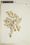 Rorippa sylvestris (L.) Besser, U.S.A., F