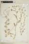 Rorippa sylvestris (L.) Besser, U.S.A., C. F. Parker, F