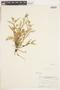 Rorippa Scop., U.S.A., J. M. Steller 80, F