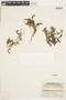 Rorippa Scop., U.S.A., W. B. Kiener 16442, F