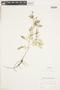 Rorippa sylvestris (L.) Besser, U.S.A., R. F. Thorne 17391, F