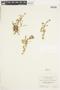 Rorippa sphaerocarpa (A. Gray) Britton, U.S.A., G. N. Jones 14673, F