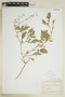 Rorippa palustris (L.) Besser, U.S.A., G. McCarthy, F