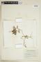 Rorippa palustris (L.) Besser, Canada, J. H. Soper 2247, F