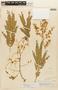 Senegalia rurrenabaqueana (Rusby) Seigler & Ebinger, PERU, F