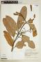 Brunellia acutangula Humb. & Bonpl., COLOMBIA, F