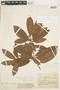 Manilkara zapota (L.) P. Royen, COLOMBIA, F
