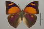 124920 Fountainea ryphea phidile d IN