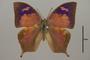 124922 Fountainea halice chrysophana d IN