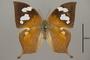 124923 Fountainea halice chrysophana d IN
