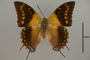 124959 Charaxes cowani d IN
