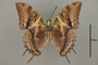 124959 Charaxes cowani v IN