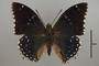 124962 Charaxes numenes d IN
