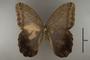 125215 Caligo eurilochus livius d IN