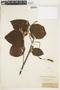 Helicteres althaeifolia Benth., BRITISH GUIANA [Guyana], F