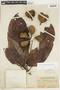 Sterculia pruriens (Aubl.) K. Schum., BRITISH GUIANA [Guyana], F