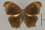 125320 Gnophodes chelys d IN