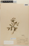 Rorippa dubia (Pers.) H. Hara, Brazil, P. K. H. Dusén 14335, F