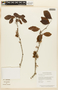 Zygia latifolia var. communis image