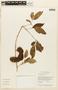 Zygia latifolia (L.) Fawc. & Rendle, GUYANA, F