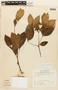 Zygia latifolia (L.) Fawc. & Rendle, SURINAME, F